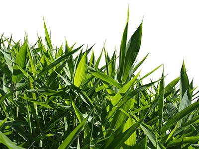 Mc-Bambus Bambus Fargesia