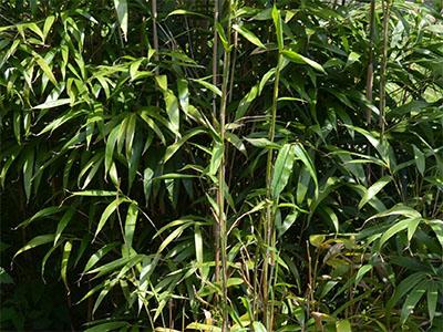 Mc-Bambus Bambus Pseudosasa