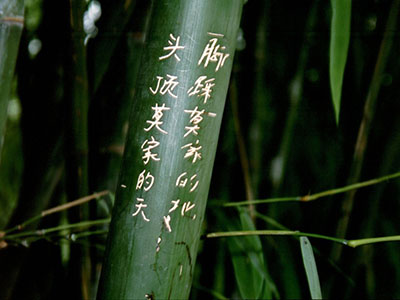 Mc-Bambus Bambus Samen