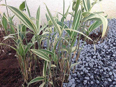 Mc-Bambus Bambus Sasaella