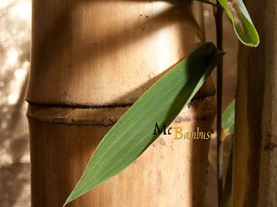 Mc-Bambus Bambusrohre / Pflanzstäbe