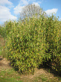 Mc-Bambus Freilandpflanzung