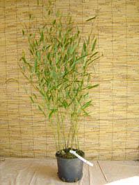 Mc-Bambus Phyllostachys heteroclada - Wasserbambus