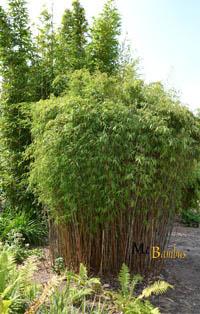 Mc-Bambus Fargesia jiuzhaigou Hain - Jade Bambus