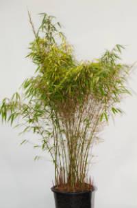Mc-Bambus Bambus Fargesia rufa