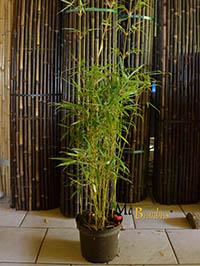 Mc-Bambus Fargesia robusta campbell - Höhe 140 cm