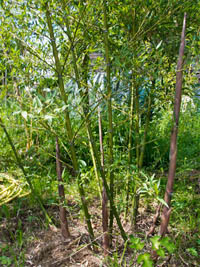 Mc-Bambus: Phyllostachys parvifolia - Ort: Windeck