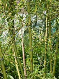 Mc-Bambus Halmdetailansicht von Phyllostachys parvifolia mit dem charakteristische Halmreif unterhalb der Nodie