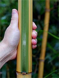 Mc-Bambus Halmdetail von Phyllostachys vivax Huangwenzhu Inversa