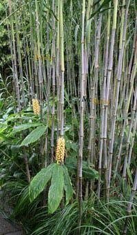 Mc-Bambus