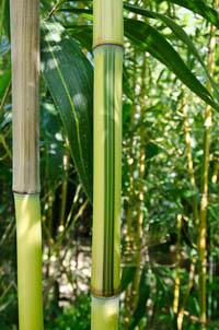 Mc-Bambus Detailansicht vom Bambus Halm - Phyllostachys aureosulcata Spectabilis