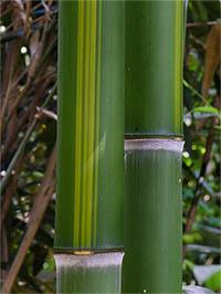Mc-Bambus Halmzeichnung von der Bambussorte Phyllostachys vivax huangwenzhu