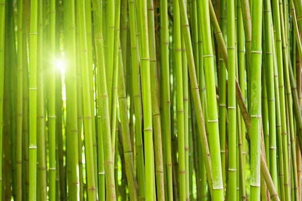 Mc-Bambus Bambuspflanzen