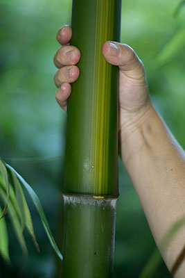 Mc-Bambus Bambus Phyllostachys